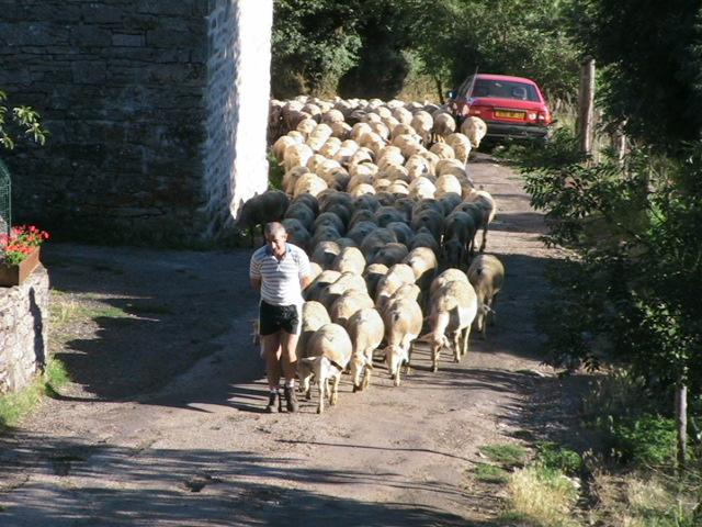 sheep are part of the village